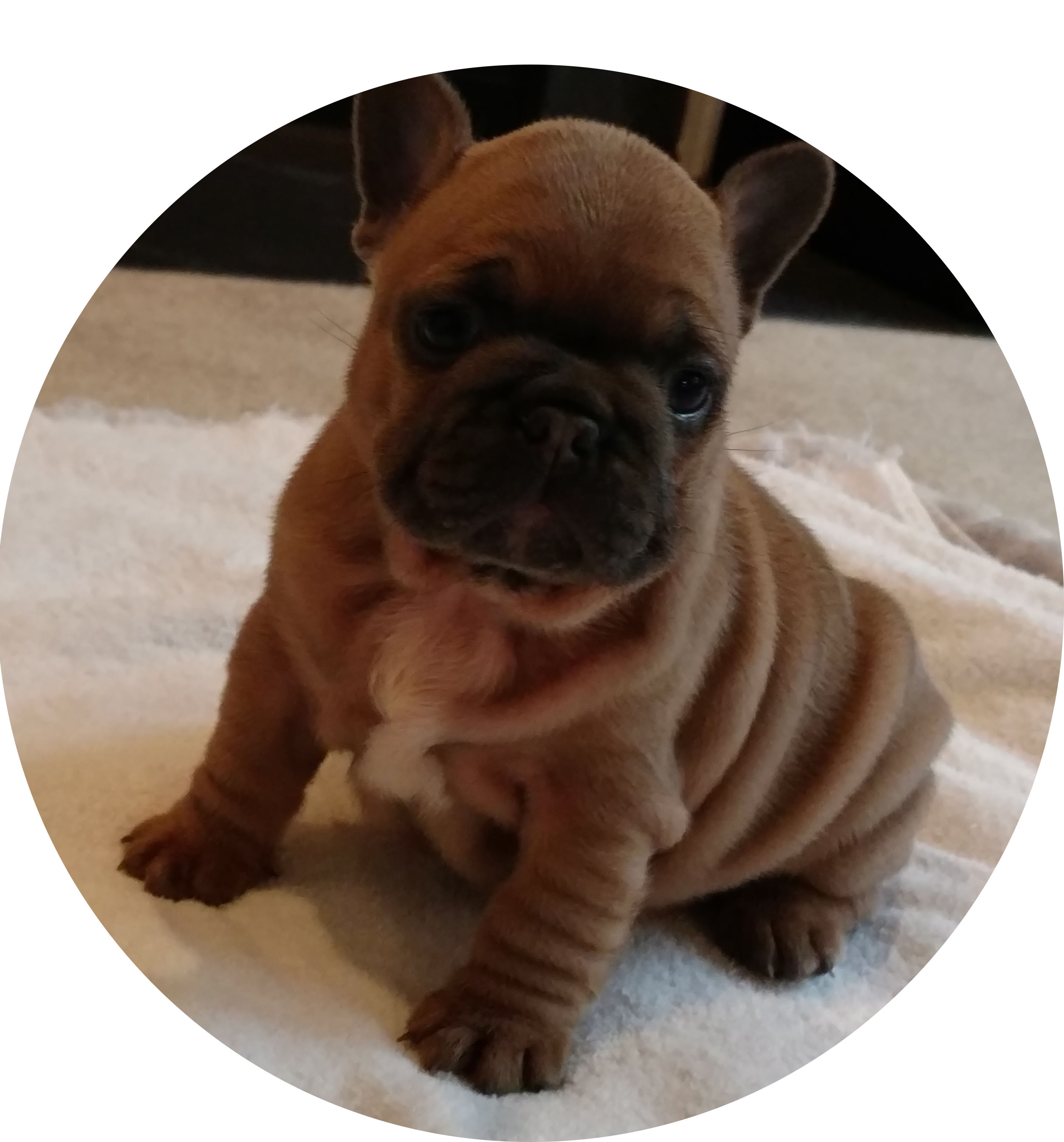 Puppies For Sale Welcome To N C Puppies Premier Dog Breeding
